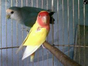 Love Bird Biru Muka Putih Dan Kuning Merah