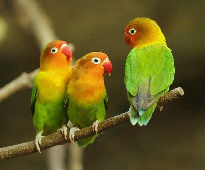 jenis jenis burung lovebird fachri s blog