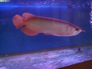 Ikan Arwana (Scleropages formosus) | Fachri's Blog